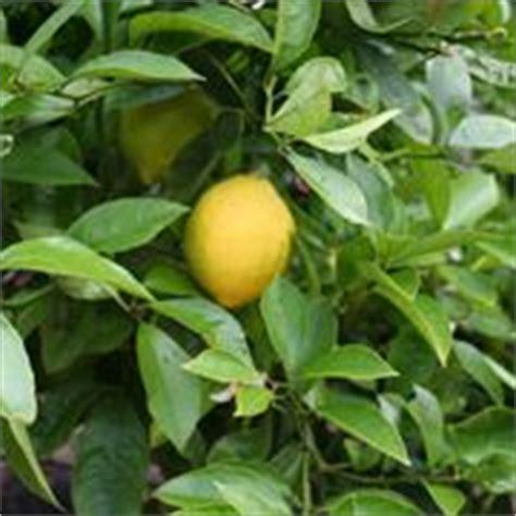 potare un limone in vaso limoni in vaso potatura limoni in vaso potatura