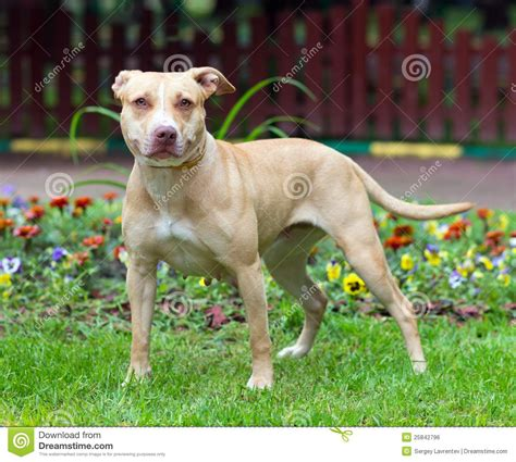 standing pit standing pit 28 images guarding pit bull stock photo