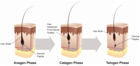 Shedding Phase Of The Hair Growth Cycle by The Hair Growth Cycle Consists Of Three Phases Growth