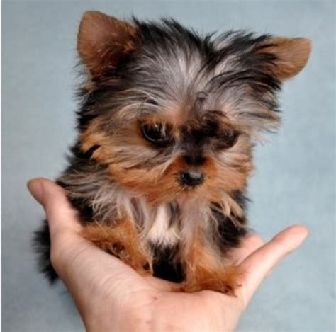 cutest yorkie yorkie yorkies