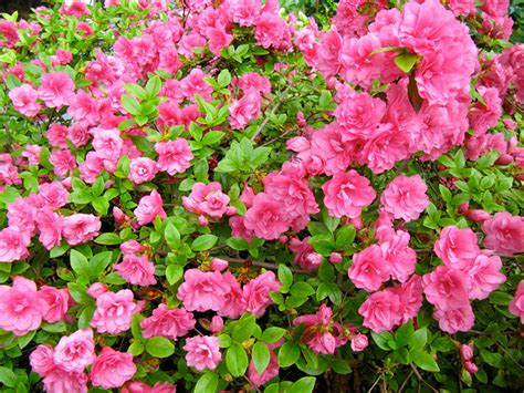 flowering shrubs for shaded areas azalea bud