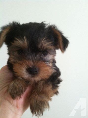 teacup yorkies in virginia yorkie puppies non shedding for sale in virginia virginia classified