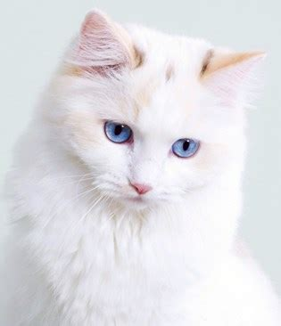 List of White Cat Breeds With Pictures   Pets World
