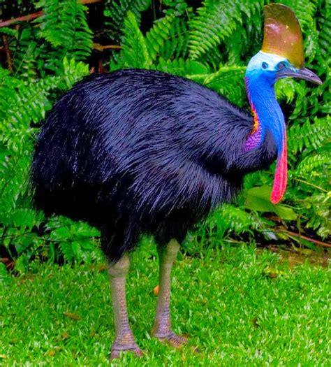 10 Fakta Burung Kasuari ? Laman 6 ? Situs Berita Papua No.1