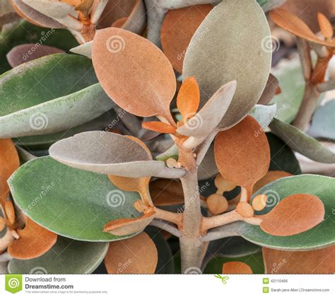 Interesting Succulents by Interesting Brown And Green Leaves Of Copper Spoon