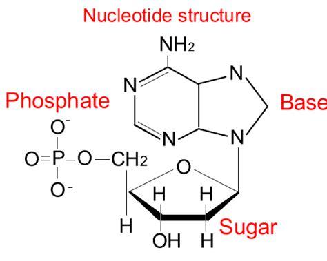 diagram of nucleotide nucleotide diagram car interior design