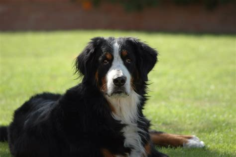 bernese mountain puppies for adoption adopt a cat or a at savearescue