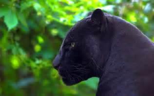 jaguar wallpaper animal black johnywheels