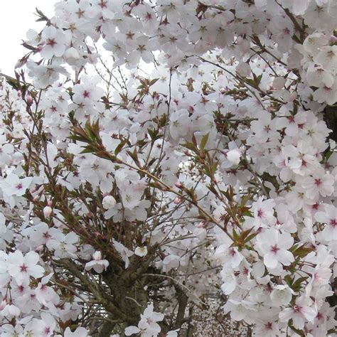 prunus incisa the bride fuji cherry trees flowering
