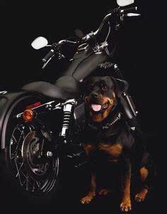 rottweiler motorcycle harley on road glide harley davidson and glide