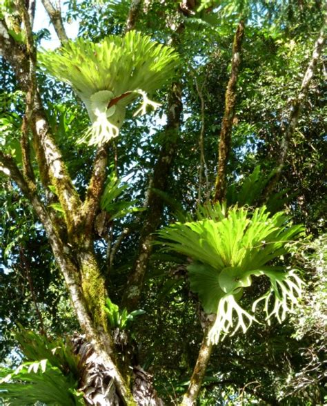 Lifelike White Phalaenopsis Orchids With Staghorn Ferns Epiphytes Staghorns In The Rainforest