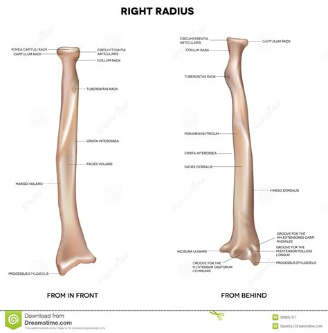 radius and ulna diagram in radius and ulna bone diagram organ anatomy