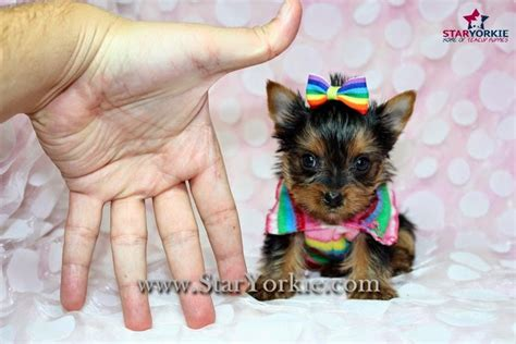 yorkie world 10 cutest yorkie puppies 10 cutest yorkie puppies in the world breeds picture