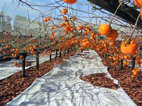Japanese Trellis Persimmon Orchard Citrus Berries Exotic Fruit And Nuts
