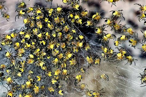 Garden Spider Exploding Millions Of Exploding Yellow Baby Spiders Invade Britain