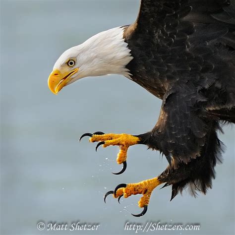 Foot Detox Eagles Landing by Eagle Talons Bald Eagle Up With Talons