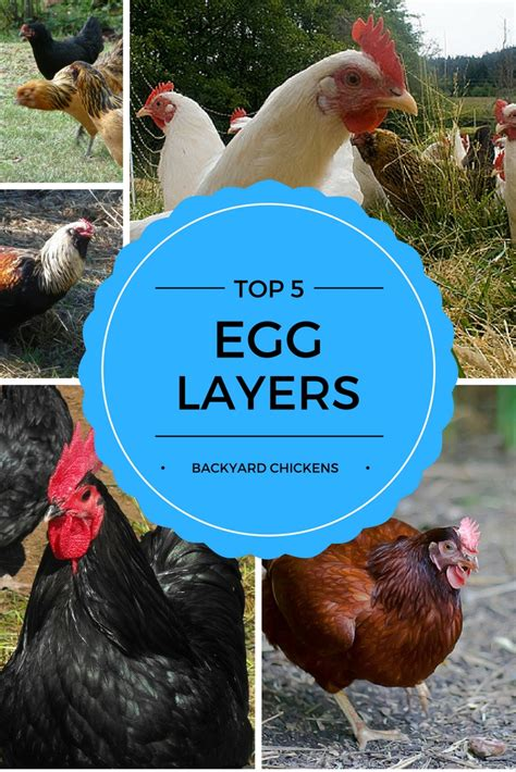 Backyard Laying Chickens by Chicken Breeds Backyard Chickens With 4 Benefits Of A