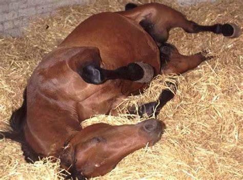 fotos caballos verga parada relatos ecuestres el c 211 lico equino