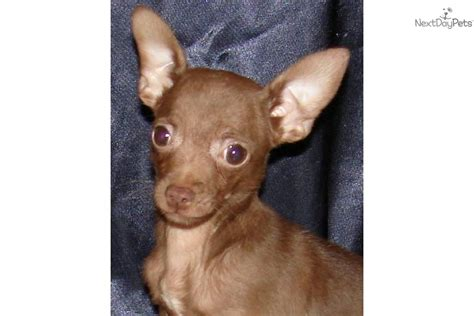 brown chihuahua puppies picture brown chiweenie puppy search results dunia pictures