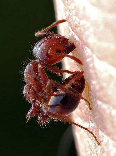 imagenes de hormigas rojas las hormigas de fuego rojas tienen una picadura demoledora