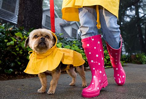 how does the average yorkie live lived breeds in pictures labradors poodles beagles and more