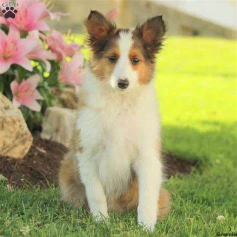 sheepdog puppies for sale in pa shetland sheepdog puppies for sale in de md ny nj philly dc and baltimore