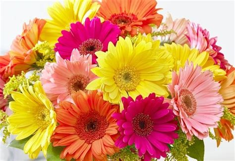 How Long Do Flowers Last history and meaning of gerbera daisies proflowers blog