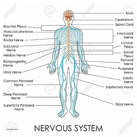 central nervous system diagram human anatomy lovely human anatomy chart human anatomy