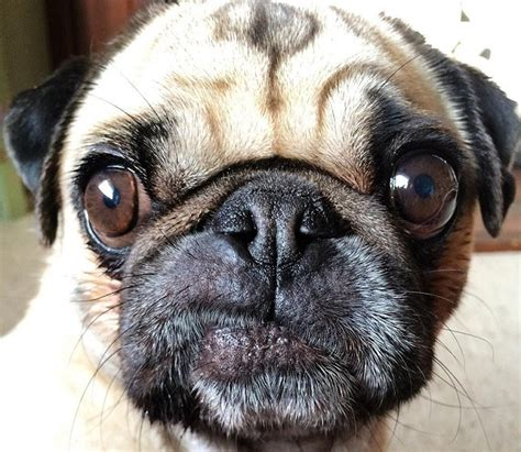how to pugs live 19 reasons pugs are actually the worst dogs to live with