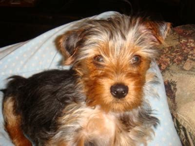 3 month yorkie yorkie maltese mix puppy