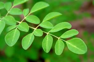 6 reasons moringa superfood sunfood