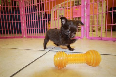 chihuahua puppies for sale in ga tcup chocolate chihuahua puppies for sale in atlanta ga at puppies for sale local