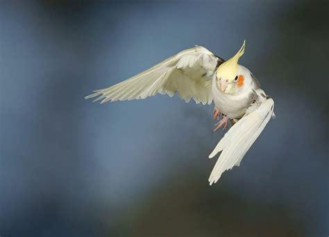 pappagallo calopsite alimentazione nymphicus hollandicus calopsite