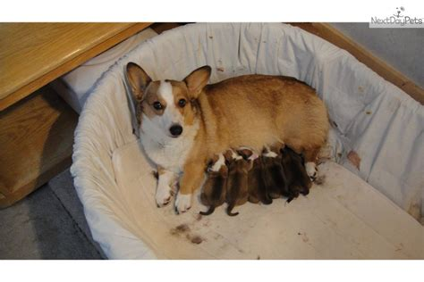 where to buy corgi puppies corgi pups for sale breeds picture