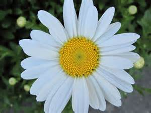 Two Beds In One by Shasta Daisy Pbmgarden