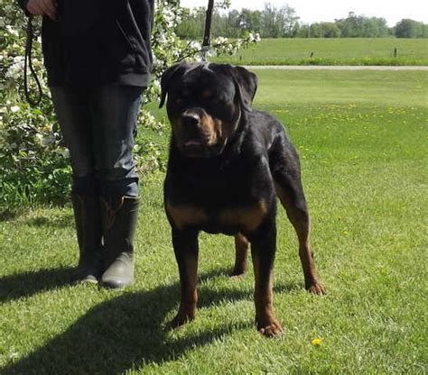 rottweiler puppies for adoption in ma rottweiler puppies for sale adoption from stony plain alberta edmonton breeds