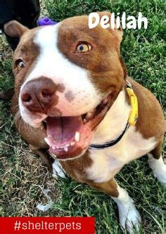 rescue centers near me we the pibbles on shelters adoption and 3 year olds