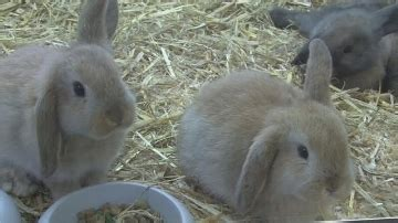 allevare conigli in gabbia allevamento conigli conigli consigli per allevare conigli
