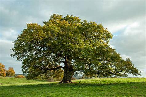 Tree L by Organic Oak Tree Honey Ariadnepure