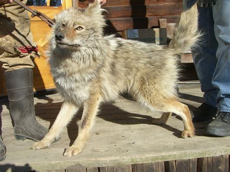 coydog puppies coydog domestic coyote hybrid info behavior sounds pictures