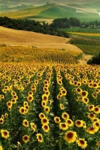 sunflower fields 17 best ideas about sunflower fields on pinterest van