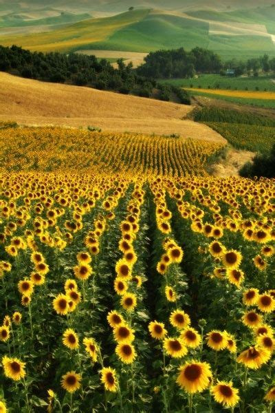sunflower fields 17 best ideas about sunflower fields on gogh sunflowers gogh paintings and