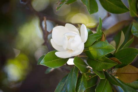 magnolia in vaso come coltivare la magnolia non sprecare