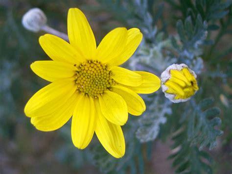 fiori simili alle margherite scelte per te giardino fiore euryops
