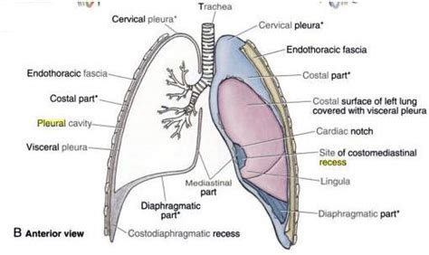 Cupula Definition 14 The Pleura And Pericardium Bone Formation Formation