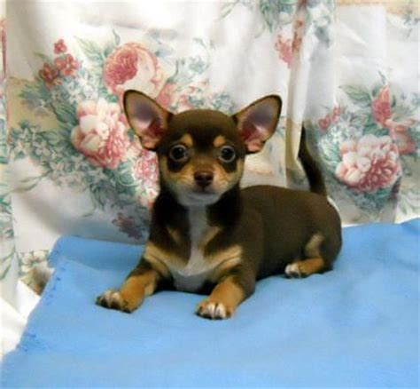chihuahua puppies for sale in oregon teacup chihuahua puppies for sale in oregon on this ad