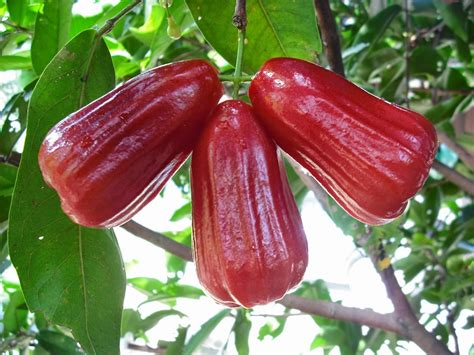 Jual Bibit Jambu Air Thongsamsi health benefits of apple water apple quot jambu air quot for