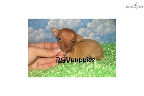 yorkie puppies for sale on ebay houston teacup chihuahua dogs puppies for sale ebay html autos weblog