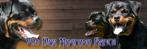rottweiler studs near me rottweiler puppies alabama photo