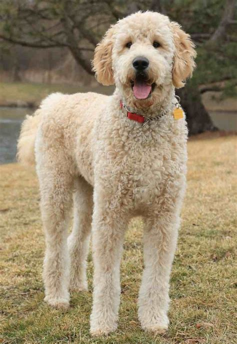 goldendoodle puppy facts are haired goldendoodles hypoallergenic om hair